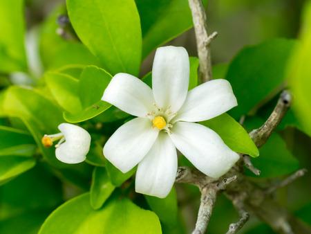 jessamine: Orang Jessamine, Cina Box Tree, Andaman Satinwood, Box legno cinese. (Murraya paniculata (L.) Jack.)