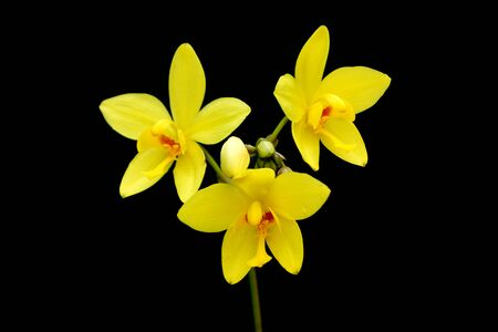 disclose: Yellow Ground orchid on black background.