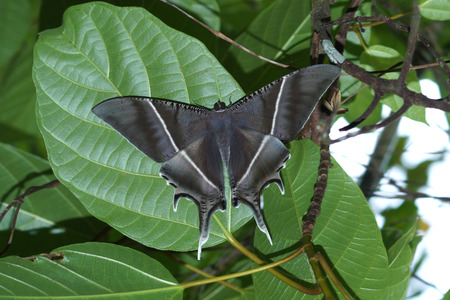 feelers: Black Butterfly in the rainforest region.