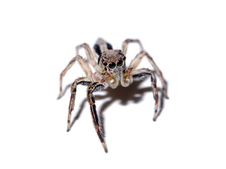 eight legs: Jumping Spider on white background.