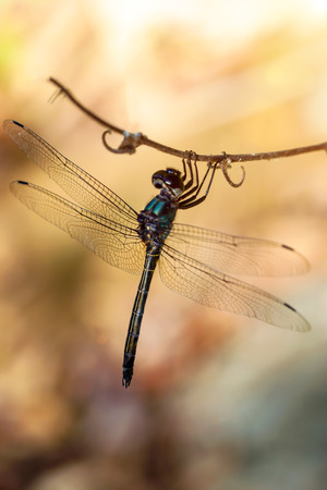 spawning: Dragonfly in tropical forests