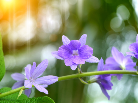 petrea: Close up of Violet Petrea Flowers Stock Photo