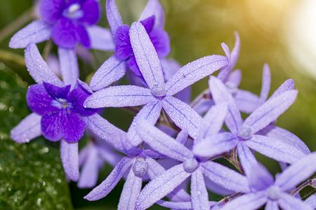 petrea volubilis: Petrea Flowers and water drop. (Queens Wreath, Sandpaper Vine, Purple Wreath) Scientific name: Petrea volubilis, Petrea kohautiana.