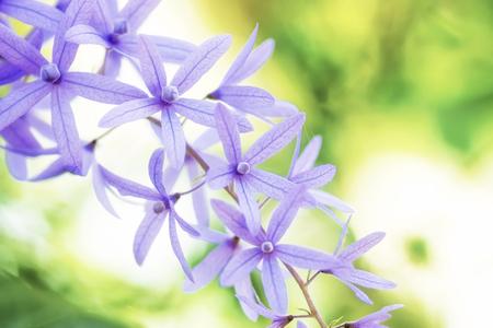 petrea volubilis: Petrea Flowers on the bright background. (Queens Wreath, Sandpaper Vine, Purple Wreath) Scientific name: Petrea volubilis, Petrea kohautiana. Stock Photo