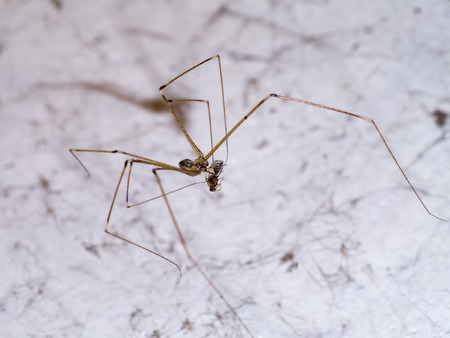 pholcus: House spider legs are killing the victim. Stock Photo