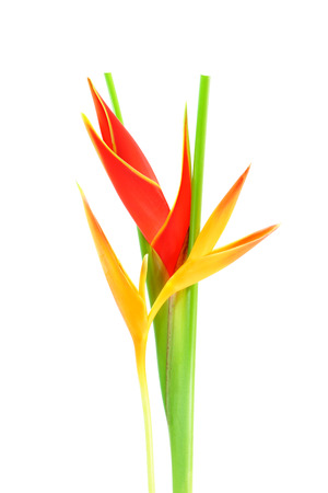 heliconiaceae: Beautiful Heliconia flower blooming on isolate white background.