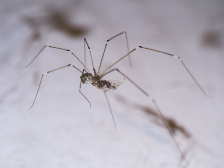 House spider legs are killing the victim. Stock Photo