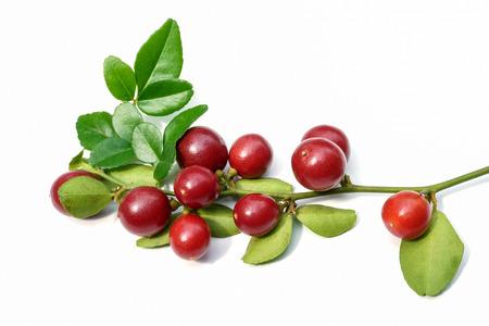 super fruit: Super fruit, Scientific name Carissa carandas Linn.