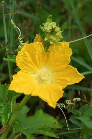 pumkin: Close up of Pumkin flower.
