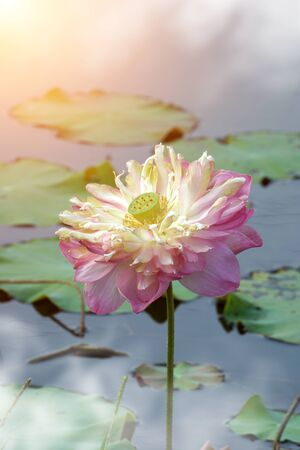 calyxes: Beautiful lotus flower blooming in the morning and mist. Stock Photo