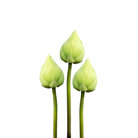 calyxes: Green lotus flower in blooming on white background.