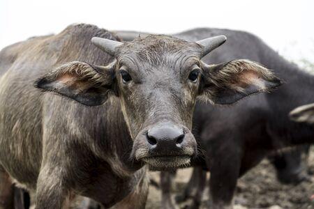 herdsman: The water buffalo or domestic Asian water.