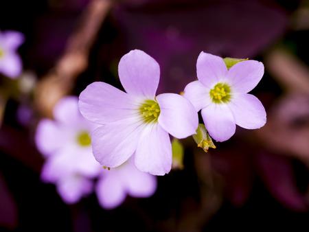 woodsorrel: Close up of False Shamrock flower in cyan color style. (Oxalis triangularis.) Stock Photo