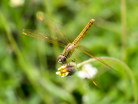 dragonfly: Close up of yellow dragonfly on flower grass. Stock Photo