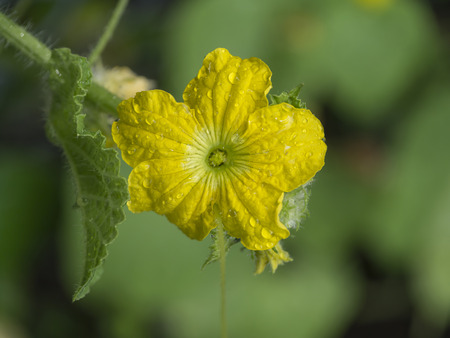 villus: Flower of organic agriculture, melon fruit is growing in the farm with water drop. Stock Photo