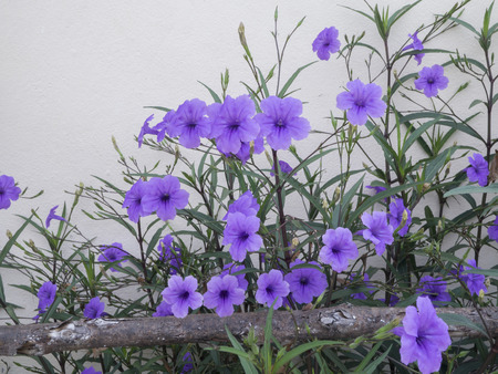 acanthaceae: Purple flowers in the garden ,Ruellia tuberosa (Acanthaceae) Stock Photo