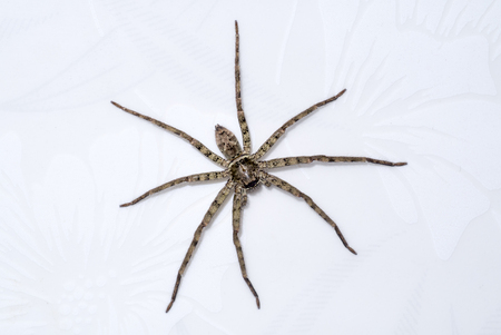 pholcus: House spider long legs at the wall. Stock Photo