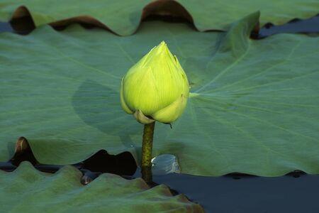 calyxes: Green lotus flower blooming.