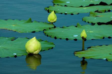 jardines con flores: Verde flor en flor de loto.