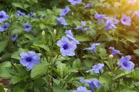 petunia wild: Purple flowers bloom in the morning. (Ruellia tuberosa Linn. Waterkanon, Watrakanu, Minnieroot, Iron root, Feverroot, Popping pod)