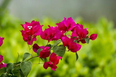 color bougainvillea: Red bougainvillea