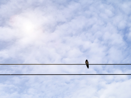 common swallows on power lines.