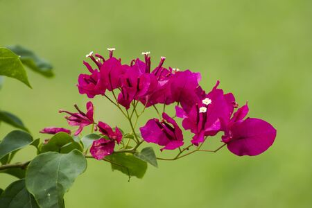 sepals: Red bougainvillea