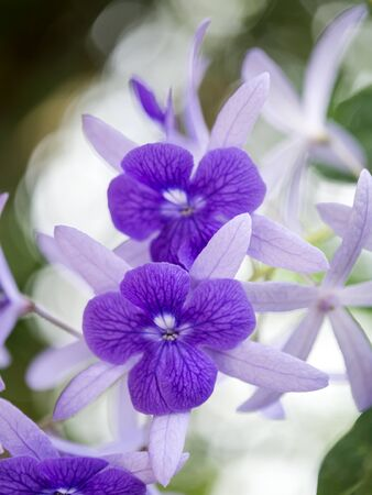 petrea volubilis: Petrea Flowers. (Queens Wreath, Sandpaper Vine, Purple Wreath) Scientific name: Petrea volubilis, Petrea kohautiana.
