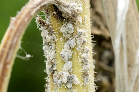wingless: white aphids on the tree.