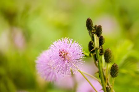 sensitive: Sensitive plant and water drop (mimosa pudica) Stock Photo
