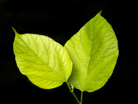 increase fruit: Green Mulberry leaf on the black background.