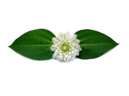 globosa: White Gomphrena Globosa Flower