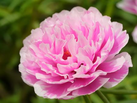 garden flower: Portulaca flowers in the garden.