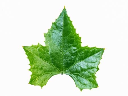 ivy vine: Green ivy leaf