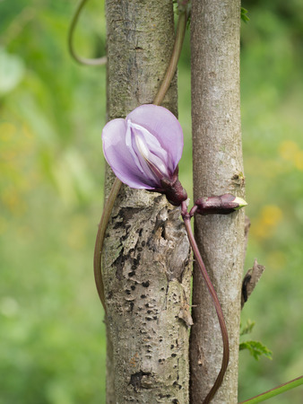 four chambers: Winged bean flower on tree.