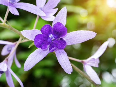 petrea volubilis: Petrea Flowers with sunlight. (Queens Wreath, Sandpaper Vine, Purple Wreath) Scientific name: Petrea volubilis, Petrea kohautiana.
