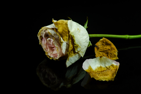 wilted: Wilted roses on a black background.