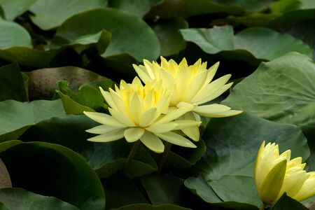 Beautiful yellow waterlily hybrid flower blooming with sunlight. Stock Photo