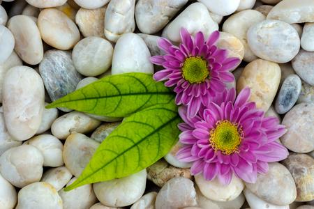 white stones: Pink flower of Chrysanthemum and white stones.