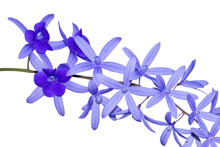 petrea: Petrea Flowers. (Queens Wreath, Sandpaper Vine, Purple Wreath) Scientific name: Petrea volubilis, Petrea kohautiana.