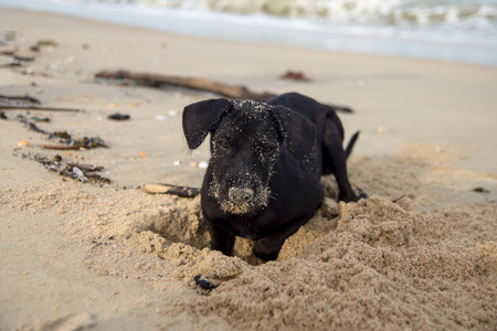 sennen: Black puppies playing the sand.