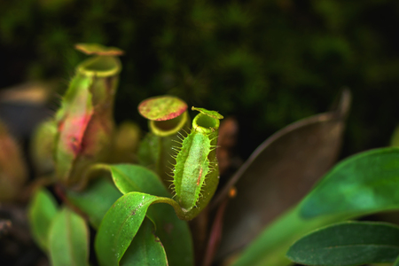 genera: Close up of tropical pitcher plants. (monkey cups)