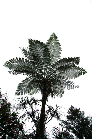 tropical native fern: Silhouettes of Cyathea Medullaris - Black Tree Fern.