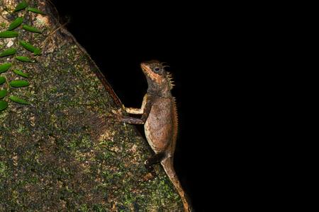 prin: crucigera Acanthosaura en el bosque oscuro. Foto de archivo