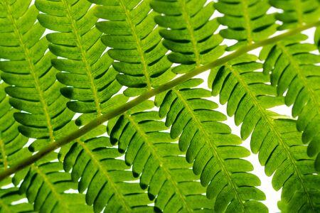 tropical native fern: Under the leaf of Cyathea Medullaris - Black Tree Fern.