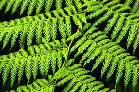 tropical native fern: Cyathea Medullaris - Black Tree Fern. Stock Photo