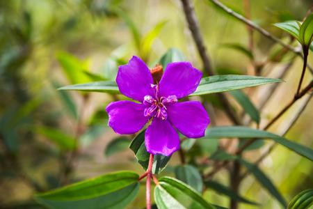 veronica flower: Malabar Gooseberry flower. (Melastoma malabathricum) Stock Photo