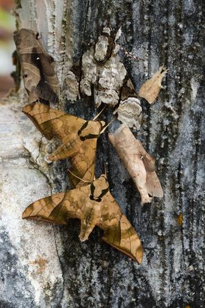 sphinx: Ash Sphinx Moth (Manduca jasminearum)