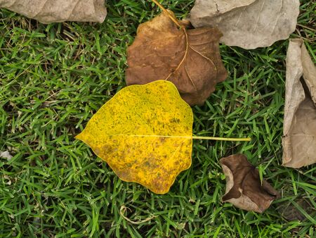 pipal: Banyan Tree leaf on the ground, Ficus Religiosa plant Stock Photo