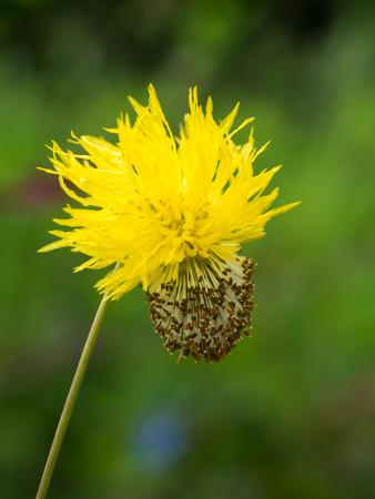 sensitive: Yellow flower of water mimosa, water sensitive plant. Stock Photo